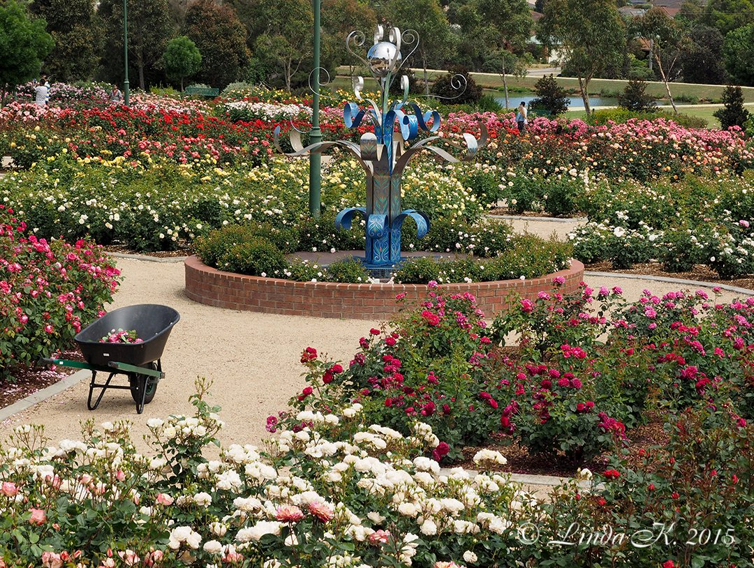 Roses In Garden: Mornington Botanical Rose Gardens Inc
