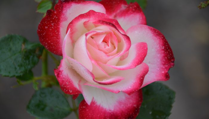 Fire and Ice - Hybrid Tea